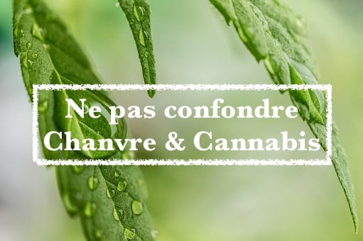 Chanvre vs Cannabis – Blog Fresh Label
